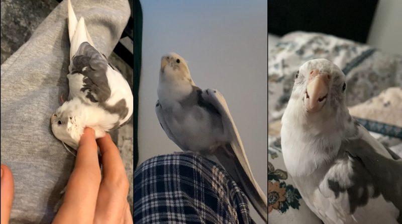mein Nachbar hat einen Vogel! Nymphensittiche - SeppelPower